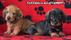 Bassotto Kaninchen e Nano Pelo Duro Cuccioli - Pedigree BassottoKanincheneNanoPeloDuroCuccioliPedigree12.jpg