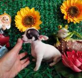 Chihuahua maschio bianco nero Toy