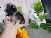 Chihuahua femmina pelo lungo dimensioni...