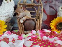 Chihuahua femmina color crema