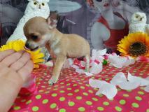 Chihuahua femmina color crema