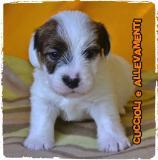 Jack Russell (russel) Cuccioli - Allevamento/Pedigree