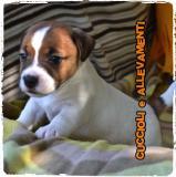 Jack Russell (russel) Cuccioli -...