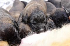 Cuccioli di leonberger