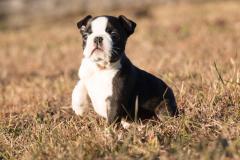 Cucciolo Boston Terrier