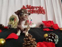 Chihuahua maschio cioccolato focato con occhi chiari
