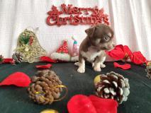 Chihuahua maschio cioccolato focato con...