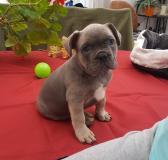 Französische Bulldogge FranzsischeBulldogge.jpg