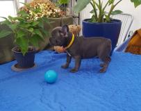 Französische Bulldogge FranzsischeBulldogge12.jpg