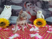 Chihuahua femmina blu focato pelo Raso