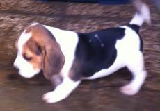 cuccioli di beagle 2 mesi