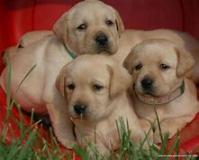 cuccioli di labrador retriver