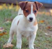 Adorabili cuccioli di Jack russell