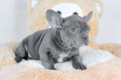 cucciolo maschio di bullo francese