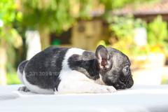 Cucciola di French Bulldog bianca nera
