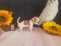Chihuahua femmina Mosca