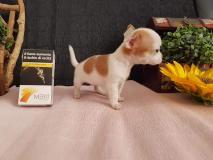 Chihuahua femmina Mosca ChihuahuafemminaMosca123.jpg