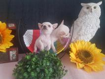 Dispongo di cucciolo di chihuahua maschi e femmine pelo corto e pelo lungo Toy DispongodicucciolodichihuahuamaschiefemminepelocortoepelolungoToy-5b9fac97d1788.jpg