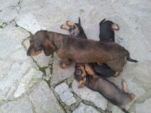 cuccioli bassotto tedesco standard a...