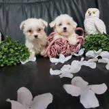 maltesi toy due femminuccie disponibili...