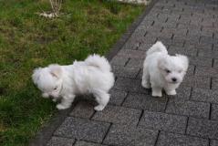 Adorabili cuccioli maltesi eccezionali
