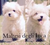 allevamento maltesi cuccioli con pedigree disponibili
