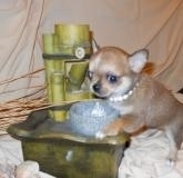 Chihuahua maschi e femmina