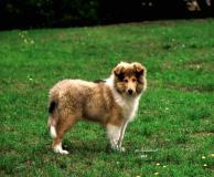 Collies cuccioli (pastore scozzese a pelo lungo)