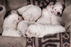 bellisimi cuccioli maremmani