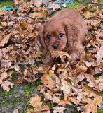 Splendida cucciolata Cavalier King Charles