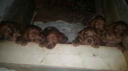 Setter irlandesi cuccioli
