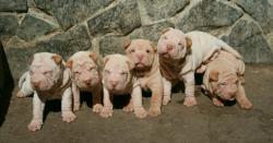 Shar-pei cuccioli Sharpeicuccioli1.jpg