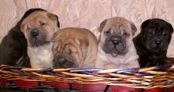 Shar-pei cuccioli Sharpeicuccioli12.jpg