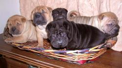 Shar-pei cuccioli Sharpeicuccioli1234.jpg