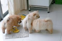 3 Chow  chow cuccioli --adozione