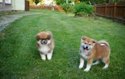 Disponibili bellissimi cuccioli di akita