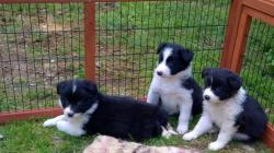 Cuccioli di Border Collie con Pedigree