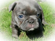magnifici Bulldog francesi blu