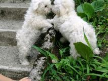 Cuccioli di Bolognese