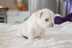 Ben addestrati cuccioli Bulldog Francese
