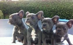 Cucciolo di bulldog francese in blu con...