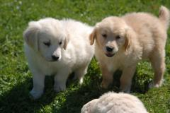 CUCCIOLI GOLDEN RETRIEVER CON...