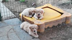 Cuccioli di Golden Retriever, maschi