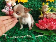 Chihuahua femmina Toy Lillac e White toy