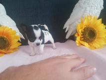 Chihuahua femmina nera e bianca