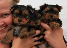 Carino cucciolo di Yorkshire Terrier 12 settimane