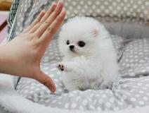 Due fantastici cuccioli di Pomeranian...
