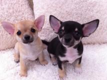 cuccioli di chihuahua mini toy