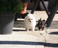 Preziosi cuccioli pomeranian