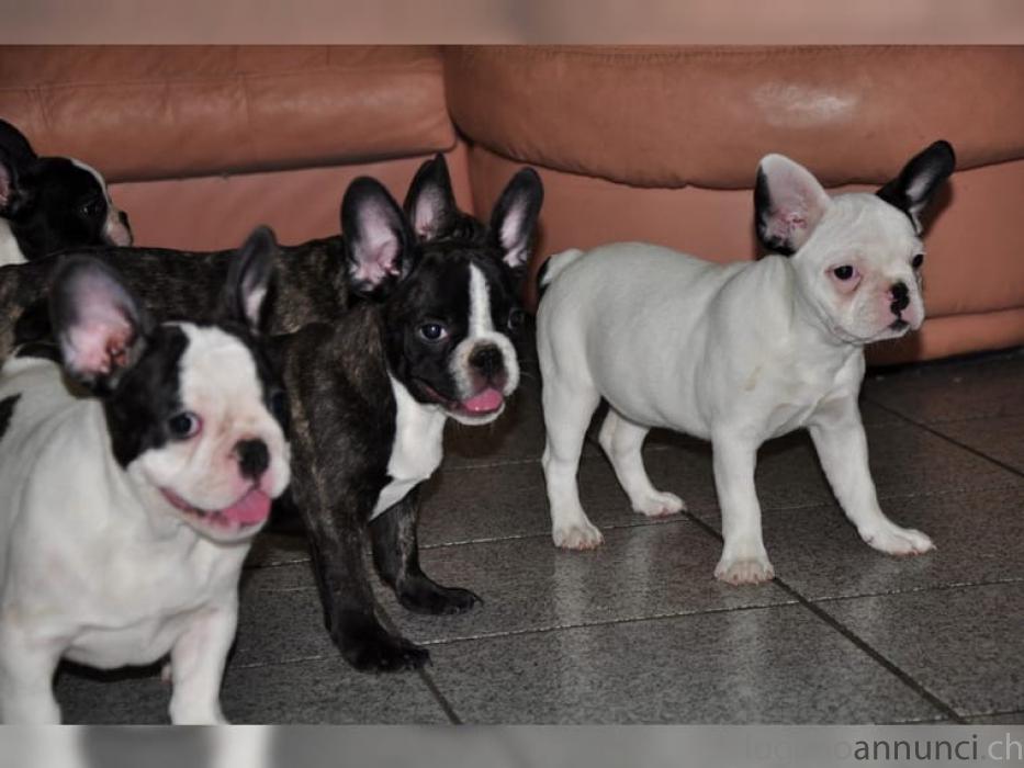 Bulldog Francese colore blu occhi chiari whatsapp:+4915216798596 BulldogFrancesecolorebluocchichiariwhatsapp4915216798596.jpg